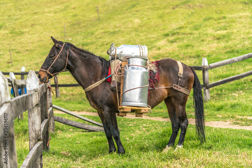 Fototapeta Horse carrying cow milk