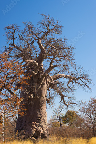 Aluminium Baobab Baobab plant and moon in the african savannah with clear blue sky. Botswana, one of the most attractive travel destination in Africa.