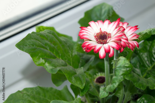 Fotobehang Gerbera Blooming gerbera with white and pink flowers growing on window sill