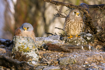 Male and female of Lesser kestrel. Falco naumanni