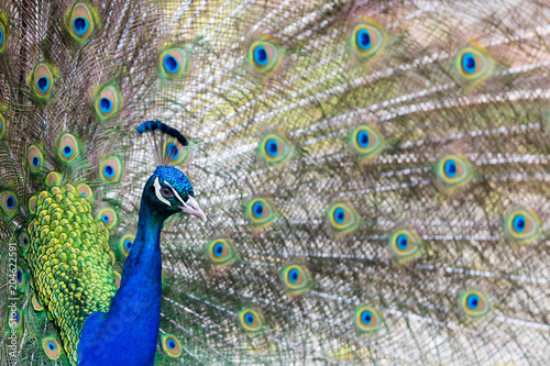 Plexiglas Pauw Peacock Side View