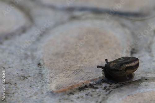 Plexiglas Kikker Close up the small brown snail on the ground and grey background