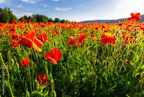 Plexiglas Klaprozen poppy field in summer evening. beautiful nature scenery with vivid flowers in sunset light