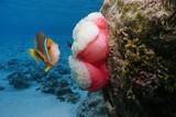 A clownfish with a sea anemone underwater, Pacific ocean, Polynesia, Rarotonga, Cook islands - 204635950