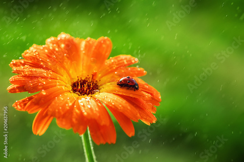 .Ladybug and orange gerbera flower on sun against grass. Raining water drops.
