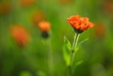 Marigold flowers in the garden, selective focus