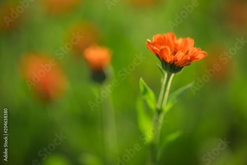 Fridge magnet Marigold flowers in the garden, selective focus