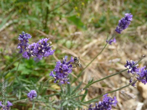 Plexiglas Lavendel Abeille