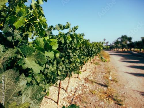 Fotobehang Wijngaard vineyard