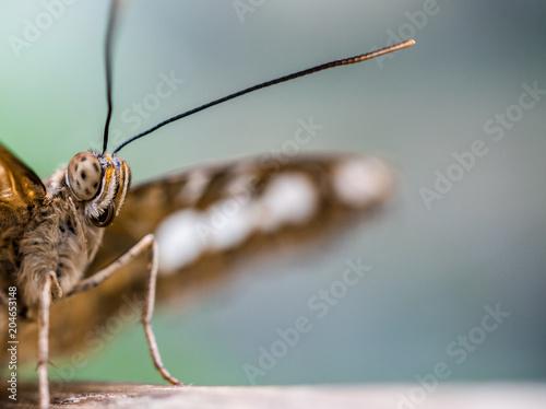 Plexiglas Vlinder close up macro portrait of a brown butterfly