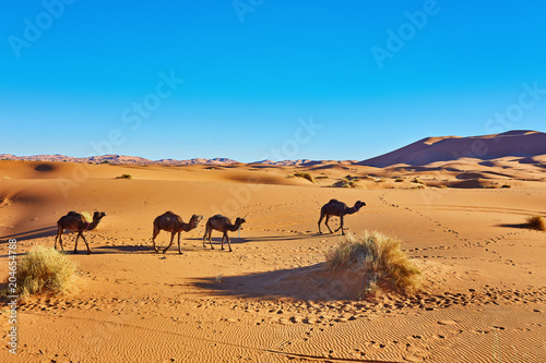 Aluminium Marokko Camel caravan going through the sand dunes in the Sahara Desert. Morocco