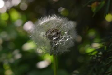 Pusteblume - Löwenzahn