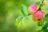 Sweet apple fruits ripening on a tree branch. Natural green background with copy space.