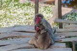 Pequeno macaco a ser amamentado