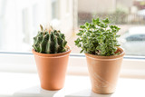 Beautiful, trendy succulents on the window sill, close up shot
