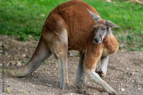 Aluminium Kangoeroe Riesenkänguru