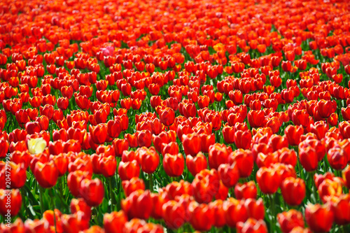 Fotobehang Rood Tulips fields during the springtime