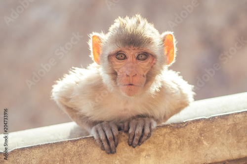 Plexiglas Aap gray monkey in jaipur