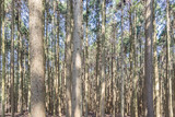 Pine forest , Green forest background in sunny day