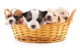 Four puppies in a basket.