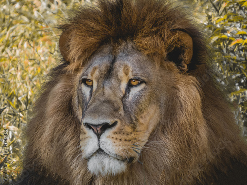 Fotobehang Lion The king of animals LION