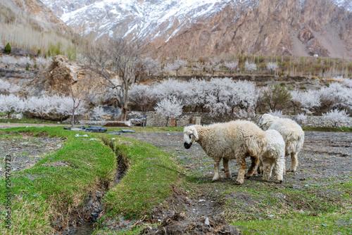 Plexiglas Lente Sheep grazing grass in countryside landscape in northern rural area in Pakistan, in spring season