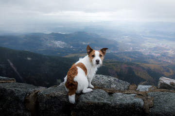 small dog in the mountains. Traveling with a pet. Jack Russell Terrier