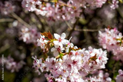 Fototapeta Beautiful cherry blossom sakura in spring time