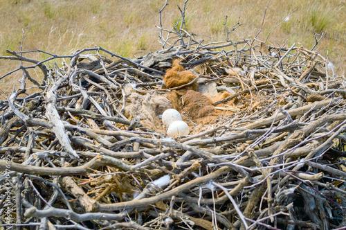 Canvas Eagle Eggs of Steppe eagle or Aquila nipalensis