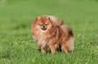 Cute Pomeranian spitz dog on a green grass