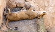 Löwenmutter in der Mittagsruhe