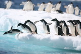 Adelie penguins jump into the ocean from an iceberg © willtu