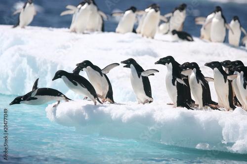 Adelie penguins jump into the ocean from an iceberg © willtu