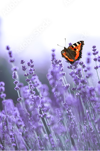 Fotobehang Lavendel Lavendelblüten mit Schmetterling