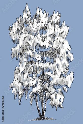 Fototapeta A birch tree in the winter season