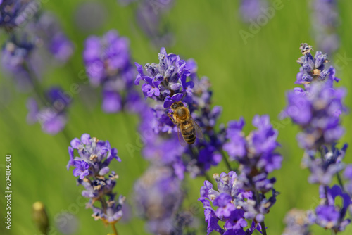 Fototapeta Blossoming lavender, bees are observed in the flowers trying to drink the nectar to carry the honeycomb