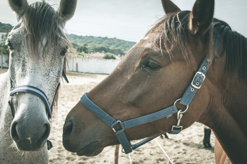 Tender close up on couple of brown and white horses on stable. Animal love concept. Vintage effect