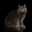 Quadro Adorable Grey Mixed-breed Cat with Yellow eyes Sitting and Looks cute on Isolated Black Background