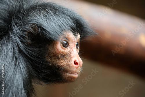 Fototapeta Red Faced Spider Monkey