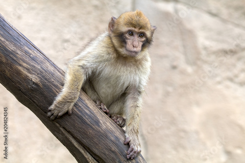 Fotobehang Aap A Barbary Monkey