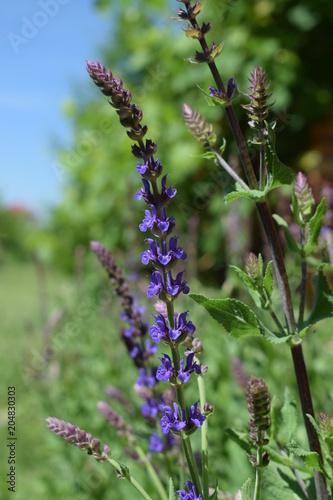 Aluminium Lavendel Rozkwitająca szałwia omączona
