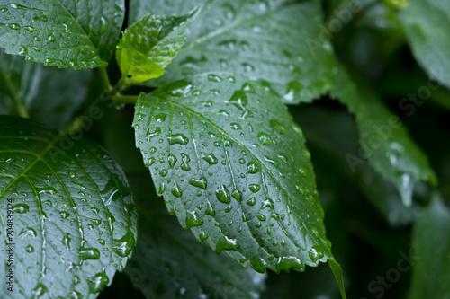 Plexiglas Hydrangea 紫陽花・水滴