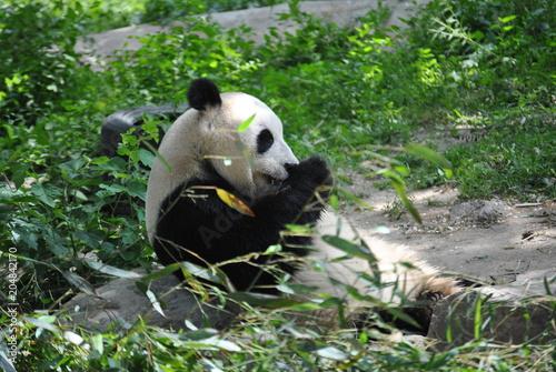 Fotobehang Panda Panda at the Beijing Zoo