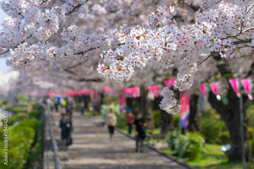 Cherry Blossoms along the river at Sumida River.