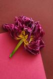 dried tulip closeup - 204845927