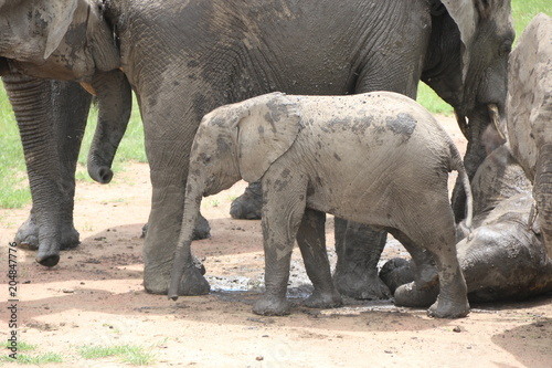 Fridge magnet african elephant, young elephants playing in the dust after bathing in a small waterhole, Tanzania, Africa