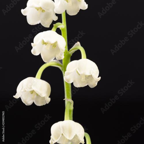 Plexiglas Lelietjes van dalen Single twig of spring flowers of Convallaria majalis isolated on black background