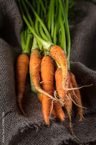 Freshly harvested organic ripe carrots with green foliage on old sackcloth..Autumn harvest. Vertical composition