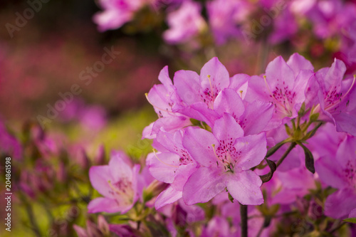 In de dag Azalea Purple Azalea bushes blooming in Southern