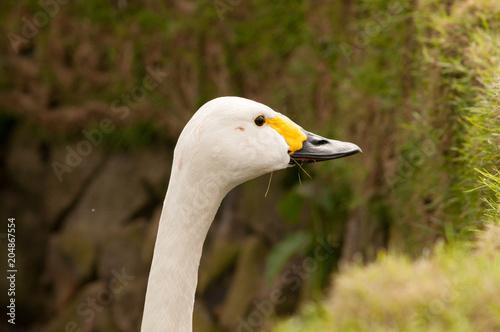 Plexiglas Zwaan Bewick's swan